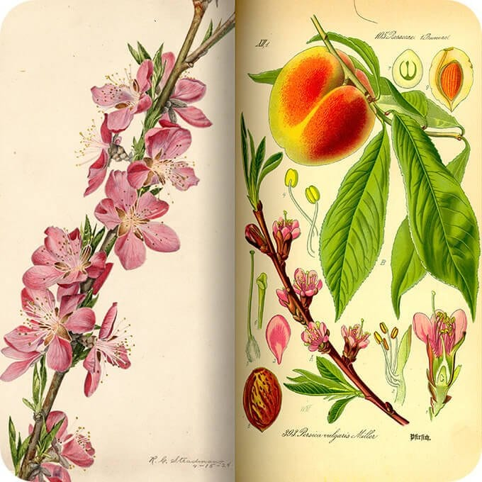peach tree botanical drawing