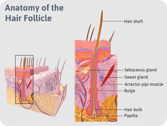 follicle anatomy